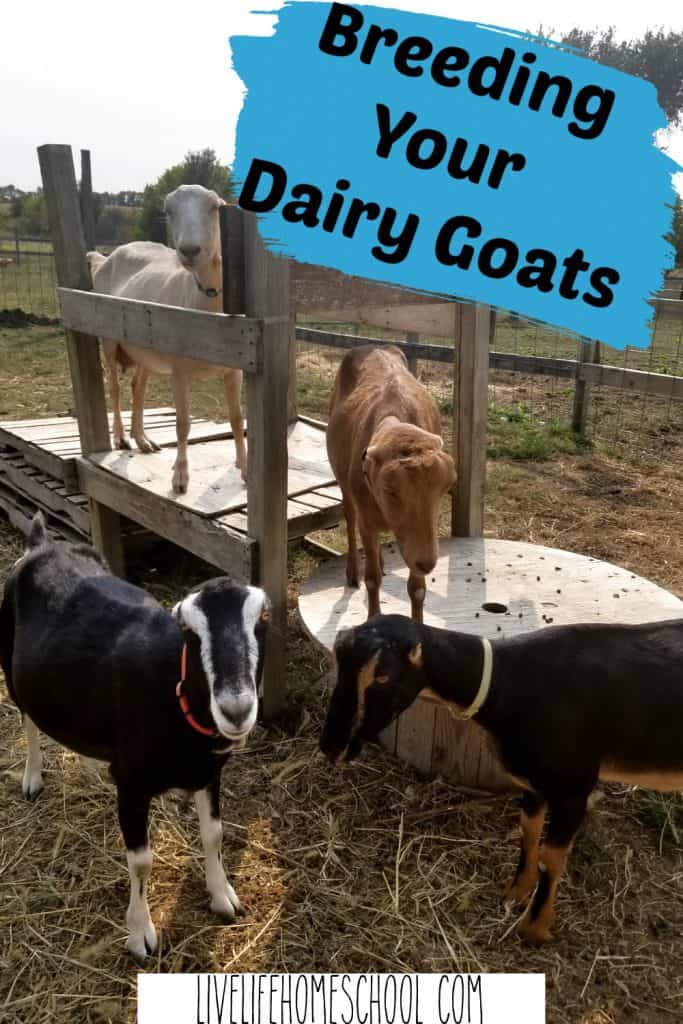 dairy goat breeding